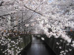 20120406_sakura_mugurokawa_009