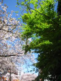 20120413_meguro_sakura_004