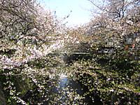 20120413_meguro_sakura_011