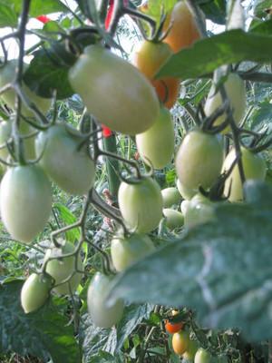 20120729_tomato_genkan_003