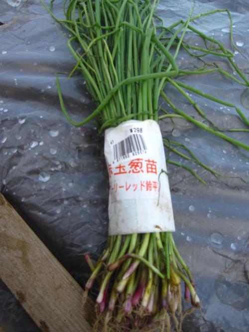 20121027_tamanegi_001