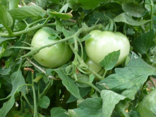 20130809_tomato