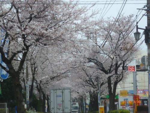 20140330_oizumigakuen_sakura