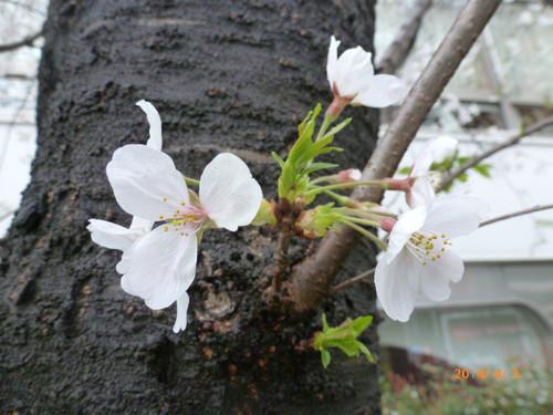 20140403_sukiyabashi_sakura