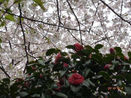 20140404_sukiyabashi_sakura_003