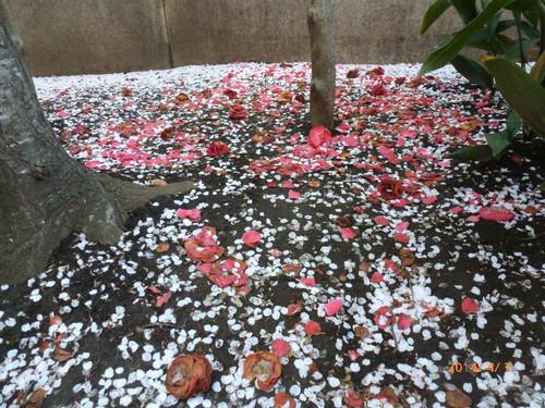 20140407_sukiyabashi_sakura_002