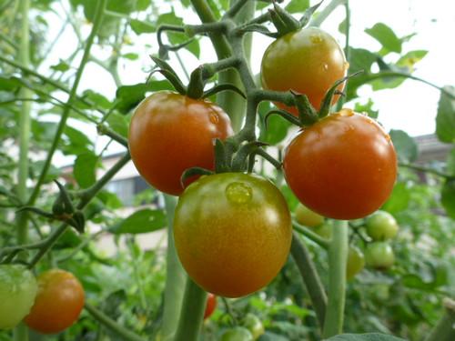 20140717_tomato