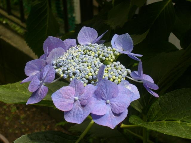 拙宅 紫陽花